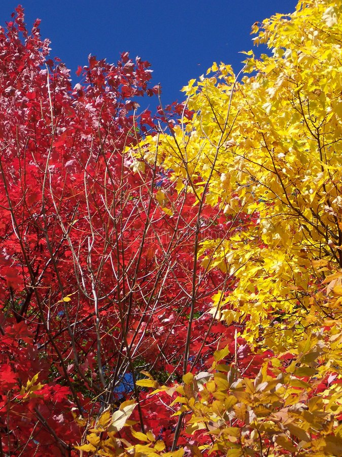 Download Two Colorful Trees In The Fall Season Stock Photo - Image of peaceful, variety: 307964