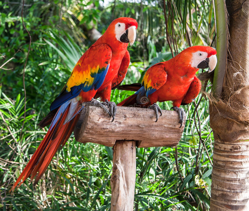 Two Colorfuls Macaws. Two colorful red, yellow and blue Macaws on a pole. Xcaret, Yucatan Peninsula, Mexico royalty free stock photos