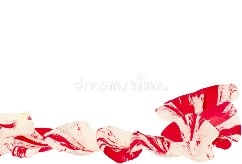 Two colors rose petals. On white paper stock image