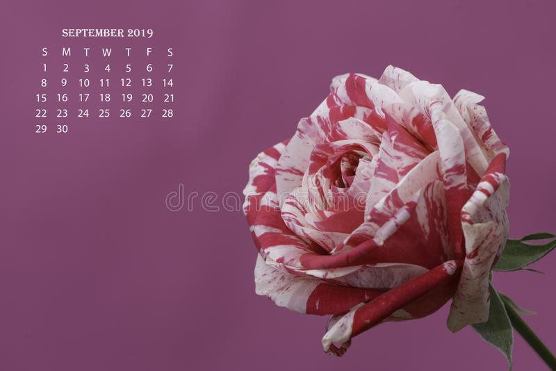 Two colors roses, white and pink, calendar september 2019. On pink background stock images