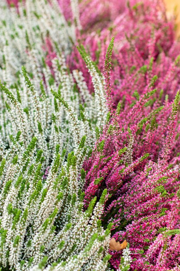Two colors white pink Blooming Heather vulgaris. Beautiful bushes with small flowers, Heather Calluna Blossom, background vertical royalty free stock photo