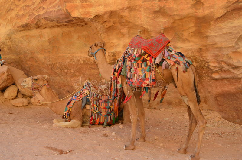 Two colourful camels in Petra Jordan. Two colourful camels with rocks, sand and dessert on the background. Petra, Jordan stock photo