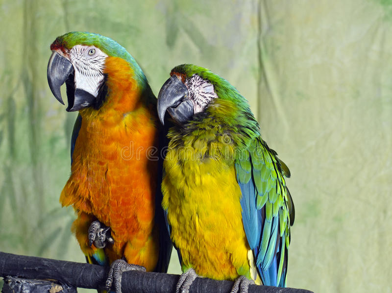 Two Colourful Macaw Parrots royalty free stock images
