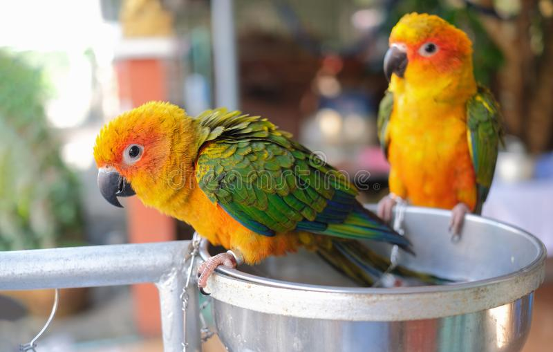 Two colourful parrots sun conure perching on metal bowl and waiting for bird `s food stock image