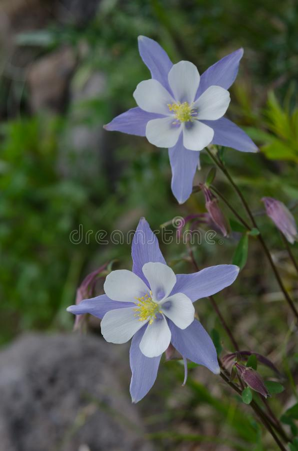 Two Columbine in Colorado Wilderness. Purple and white Columbine, the state`s flower, bloom in the mountain wilderness stock photography