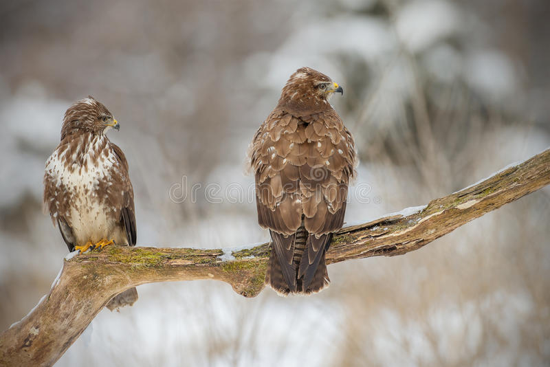 Download Two Buzzards On An Old Tree Royalty Free Stock Image - Image: 29739326