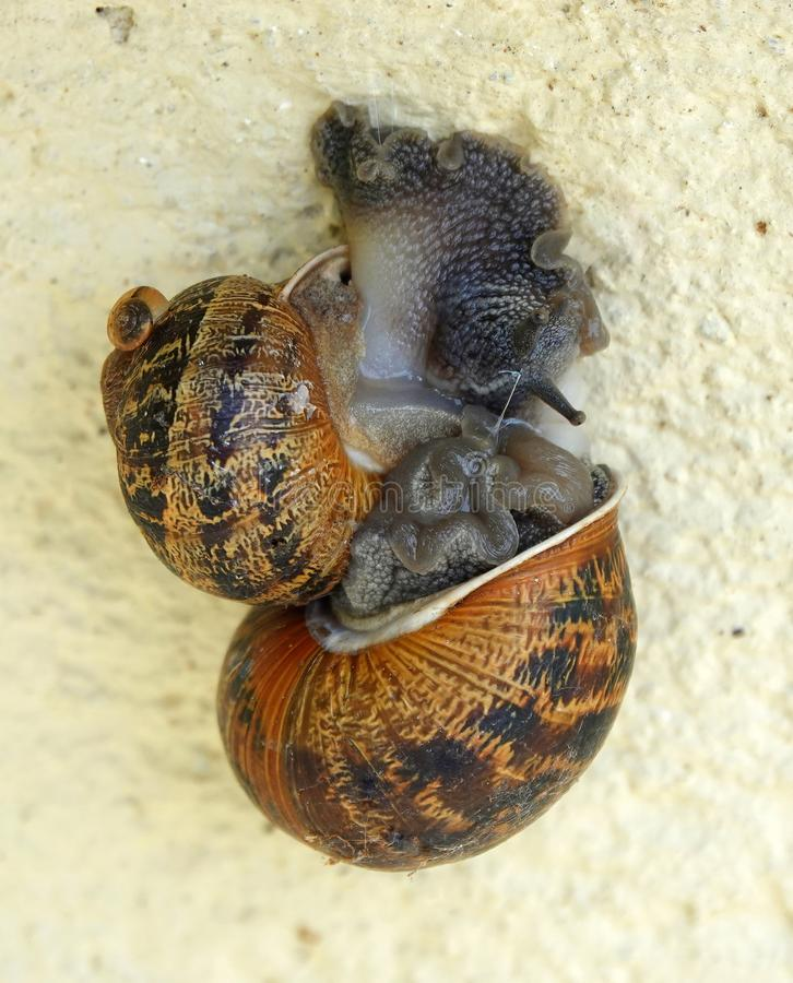 Two snails mating on garden wall. Two common garden snails Cornu aspersum in an intimate embrace on a garden wall in England stock photo