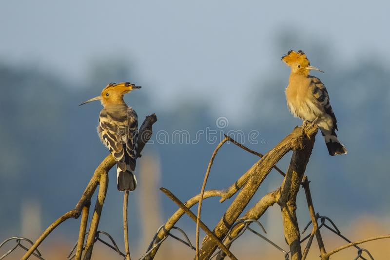 Two Common Hoopoes Perching on Branches. Beautiful birds with fawn heads and crest , long thin beaks, black and white striped wings,and buff chest feathers stock images