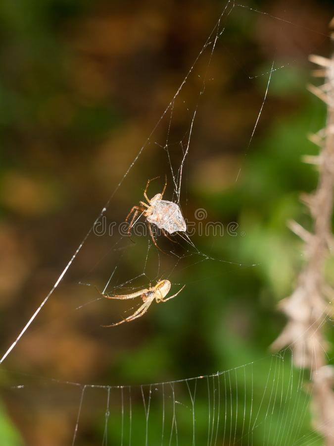 Common Uk Spider On Web Outside Summer Stock Photo - Image ...