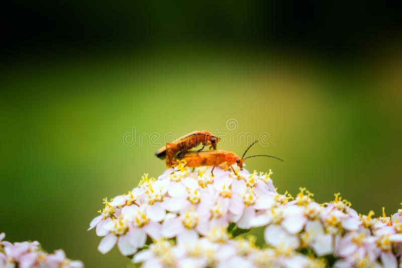 Two common red soldier beetles on white flower royalty free stock image