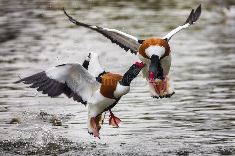 Shelduck ducks fighting. Two Common Shelduck duck Tadorna tadorna agressively fighting and pecking royalty free stock images