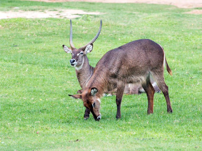 The two common waterbuck sitting and other one eating grass. Specie Kobus ellipsiprymnus family of bovidae royalty free stock photos