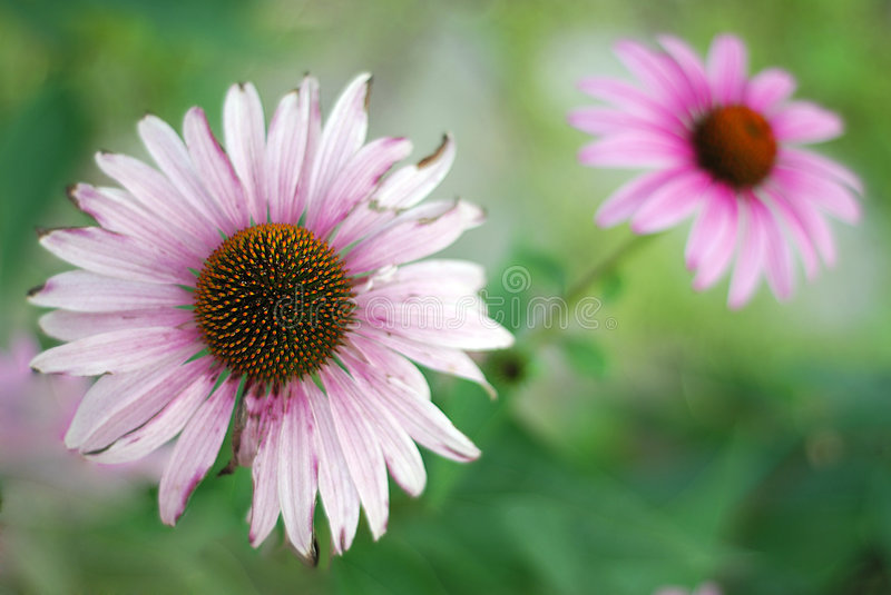 Two coneflowers stock photography