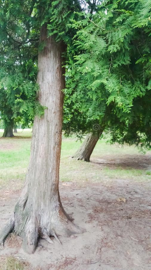 Two conifers in the park. Green, garden, forest, branch, nature, outdoor stock photos