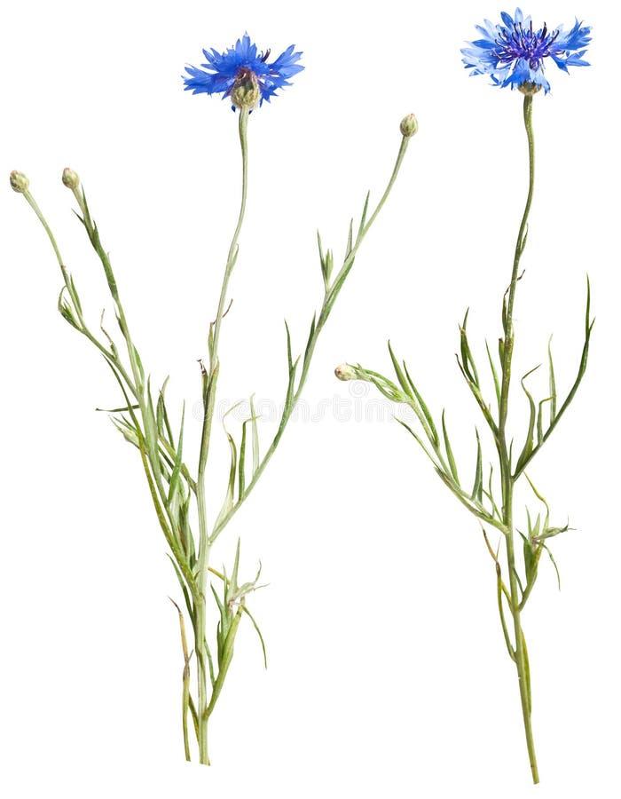 Two cornflower isolated on white stock image