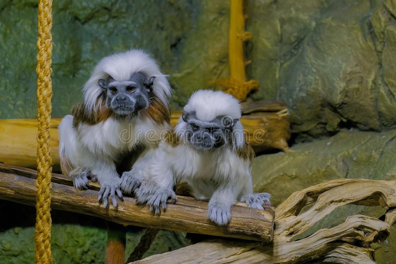 Two cotton-top tamarins. Portrait of two cotton-top tamarins at zoo. Exotic animal, care, primate and wildlife concept stock image