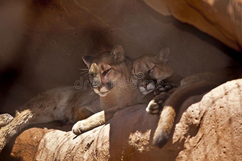 Two Cougars Taking a Nap stock images