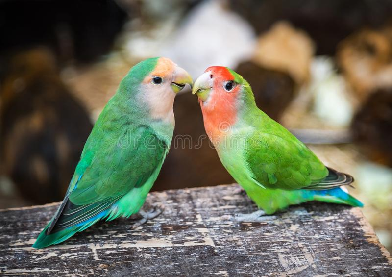 Two couple lovebird  cute parrots sitting and looking at the camera on the natural background. Colorful pink, green parrots. royalty free stock image