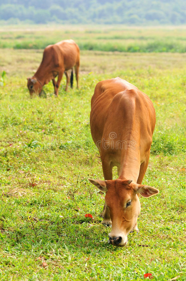 Two cow eat grass. Isolated green paddy field royalty free stock image