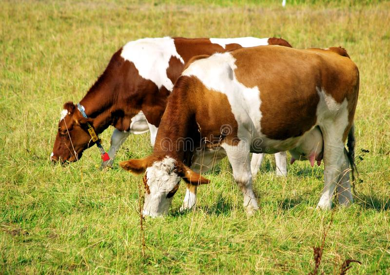 Two cows. Grazing and taking rest on the green meadow royalty free stock photography