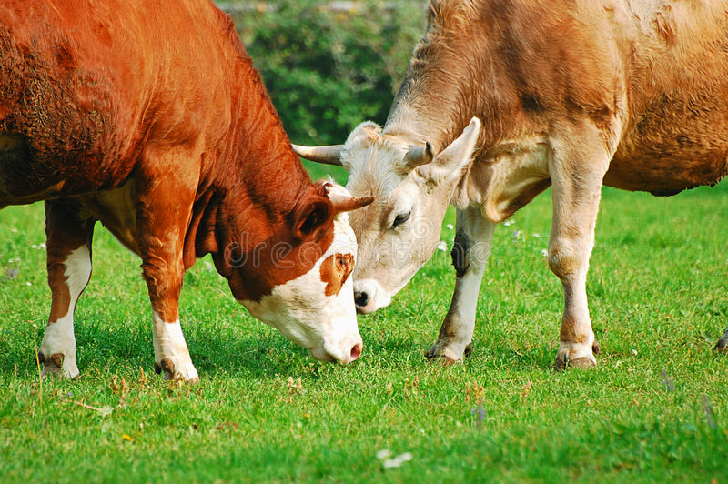 Download Two cows stock image. Image of nature, dappled, milk, meadow - 3333863