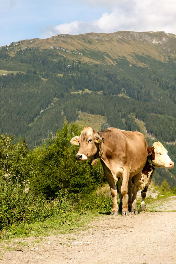 Download Two Cows In The Alps Royalty Free Stock Photography - Image: 26682587