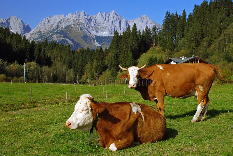 Download Two cows on Austrian alps stock photo. Image of quiet - 6791256