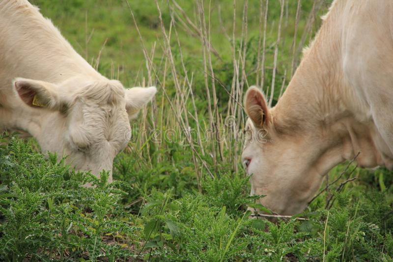 Two cows, Charolais are grazing in the grassland at the countryside in the late spring. stock photography