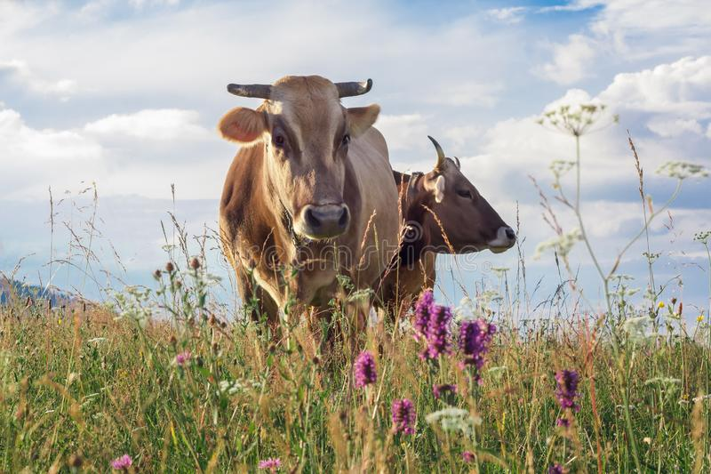 Two cows closeup graze on a summer grass meadow.  royalty free stock image