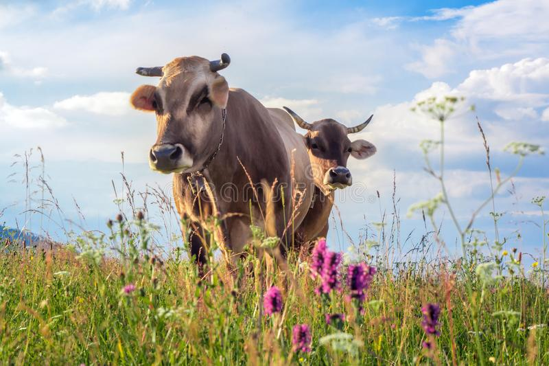 Two cows closeup graze on a summer grass meadow on the sunset.  royalty free stock photos