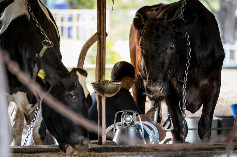 Two cows in dairy farm and a man is milking the black cow. royalty free stock photo