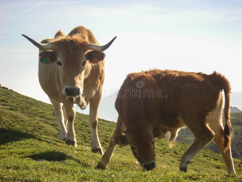 Two cows grazing on the Cantabria mountains. These animals are raised in freedom feeding on natural pastures and then taken to the. Meat-based meat industry stock photography