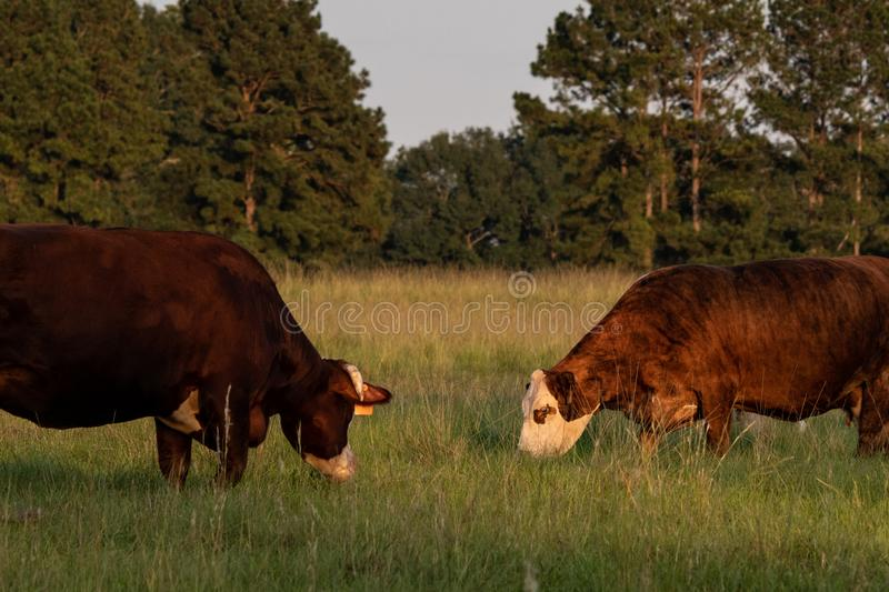Two cows grazing face-to-face stock photography