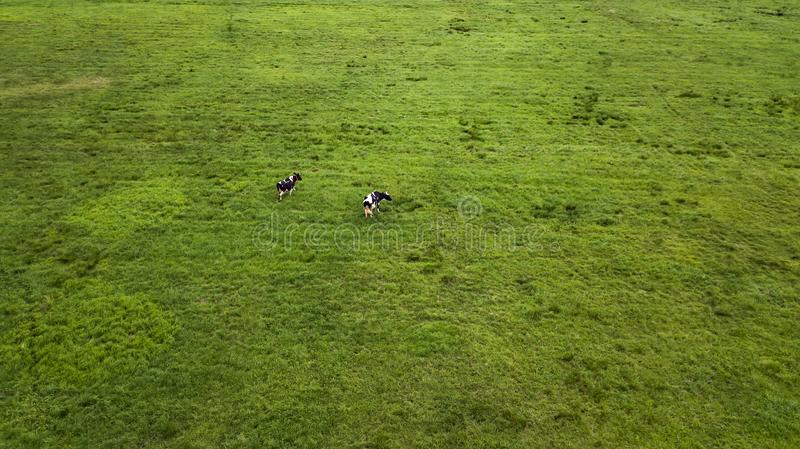 Two cows grazing in a meadow top view from drone aerial photography.  stock photography