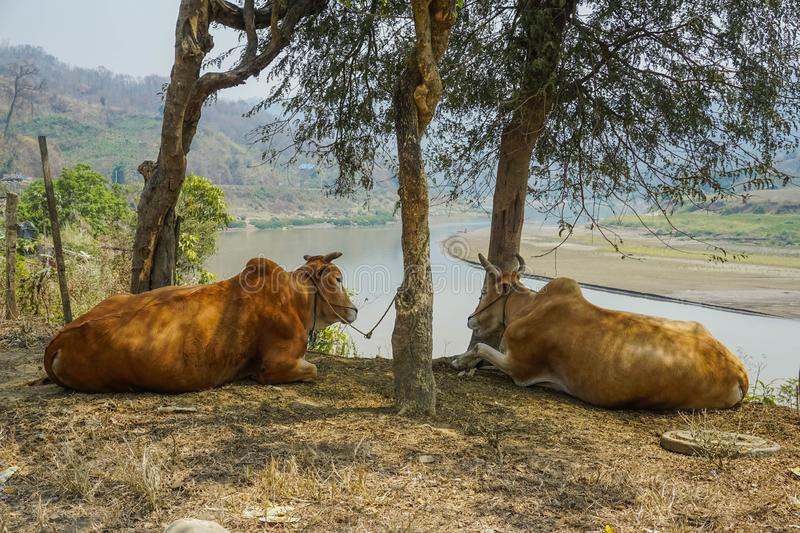 Two cows lying on the ground. Myanmar stock photos