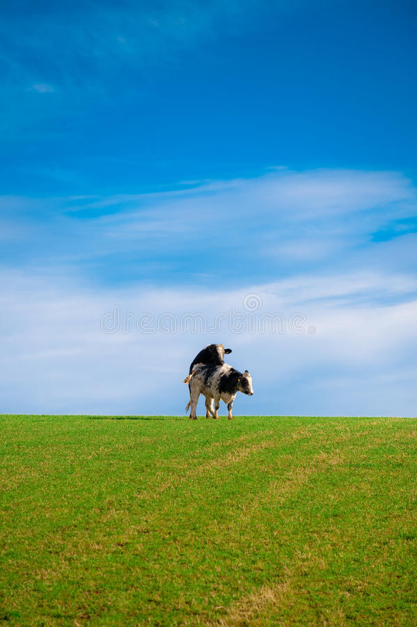Download Two cows mating stock photo. Image of hill, hereford - 16370132