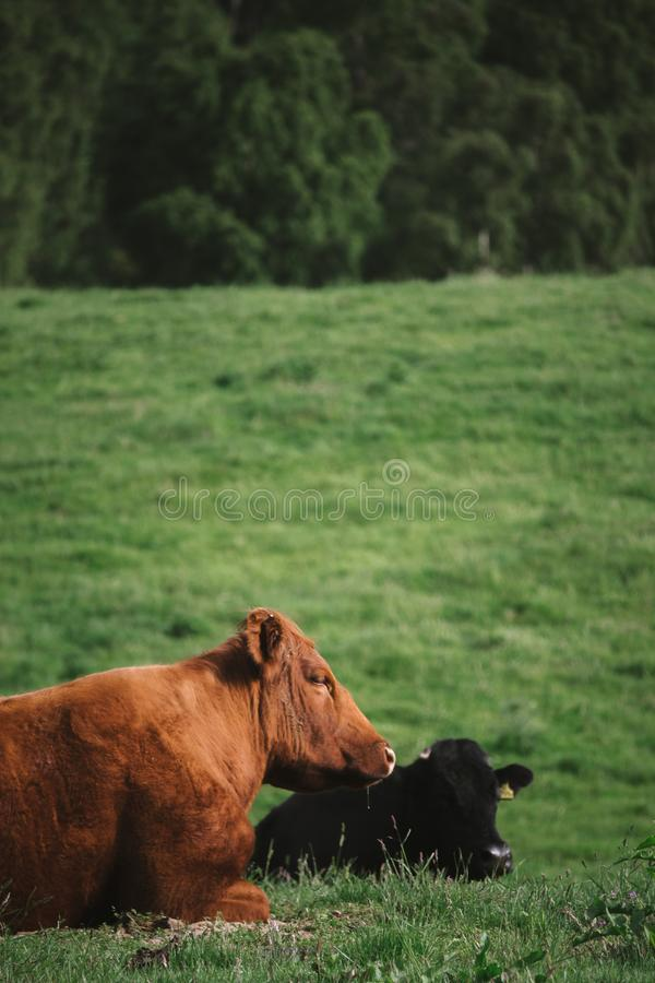 Two cows, one brown and one black, lie in a field taking a rest royalty free stock photo