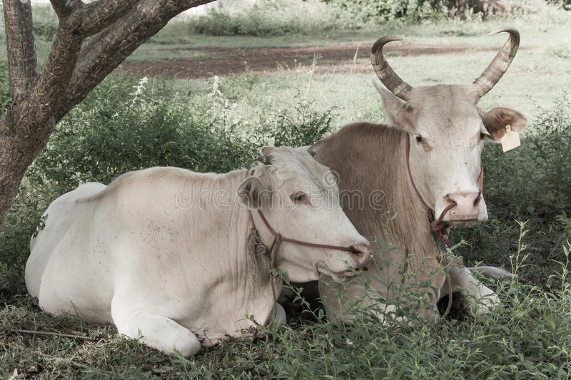 Download Two Cows Stock Photography - Image: 33241232