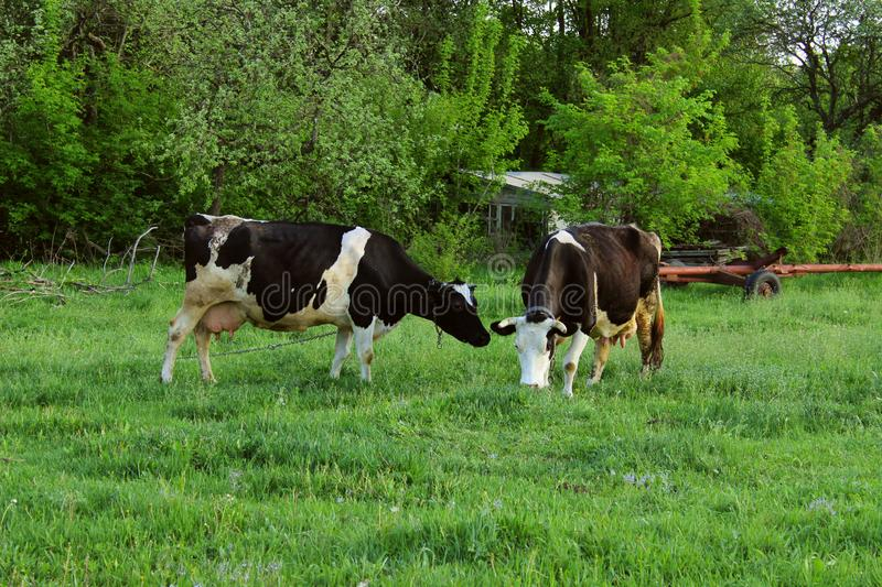 Two Cows Standing In Farm Pasture. Shot Of A Herd Of Cattle On A Dairy Farm. Nature, Farm, Animals Concept royalty free stock image
