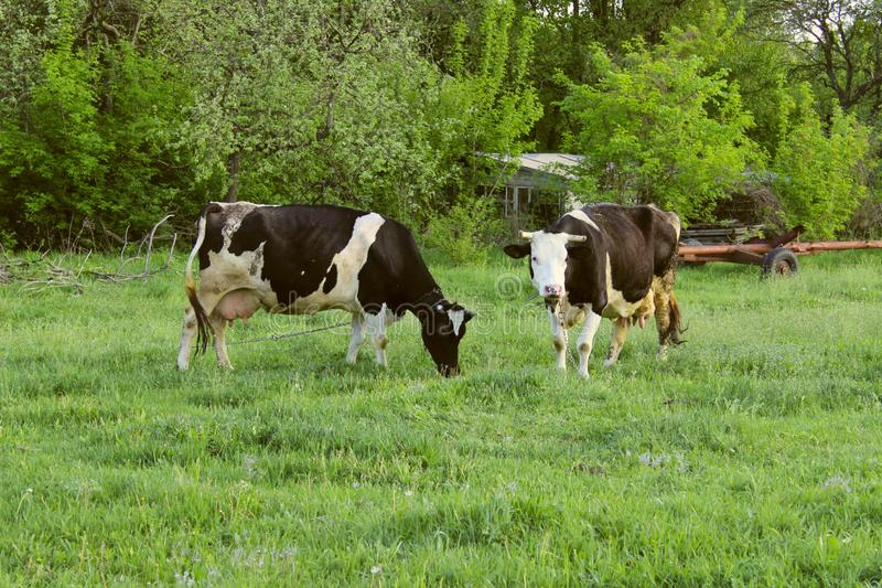 Two Cows Standing In Farm Pasture. Shot Of A Herd Of Cattle On A Dairy Farm. Nature, Farm, Animals Concept stock photos