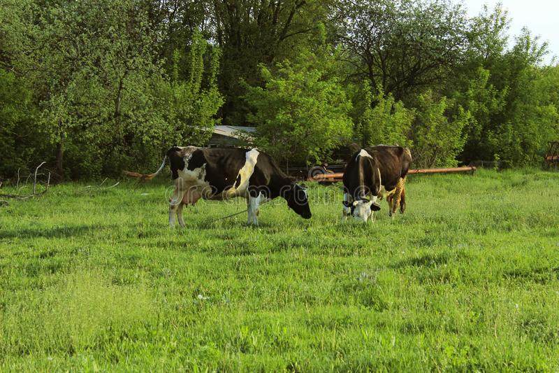 Two Cows Standing In Farm Pasture. Shot Of A Herd Of Cattle On A Dairy Farm. Nature, Farm, Animals Concept royalty free stock photo