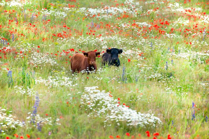 Two cows in wild flower meadow. Two beautiful dexter cows, one black and one brown, strolling in a stunning meadow of wild flowers. Daisies, poppies, and other stock photo