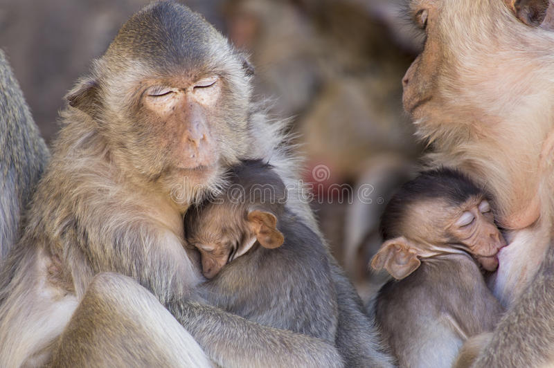Two Crab Eating Macaques nursing their young royalty free stock photo