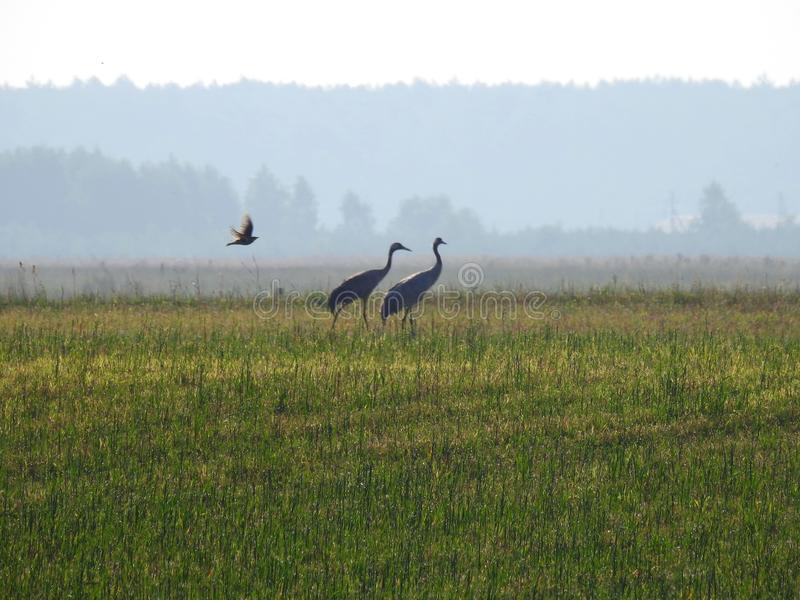 Three birds in meadow early morning, lithuania royalty free stock photos