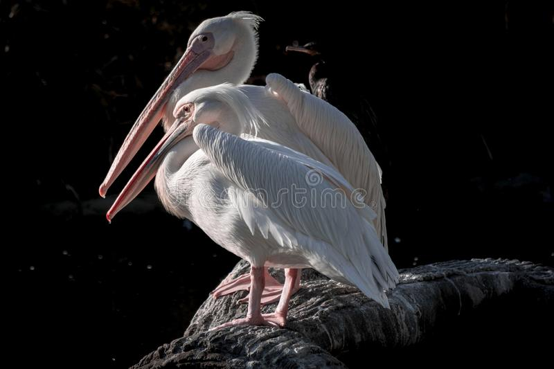 Pelicans enjoying the sun at zoo Wildlife stock images