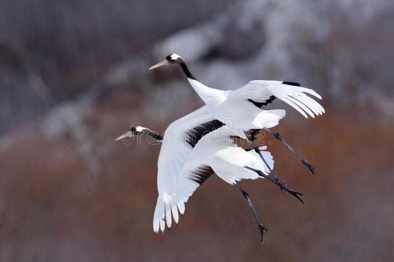 Two cranes in fly. Flying white birds Red-crowned crane, Grus japonensis, with open wing, trees ad snow in background, Hokkaido. Japan royalty free stock photo