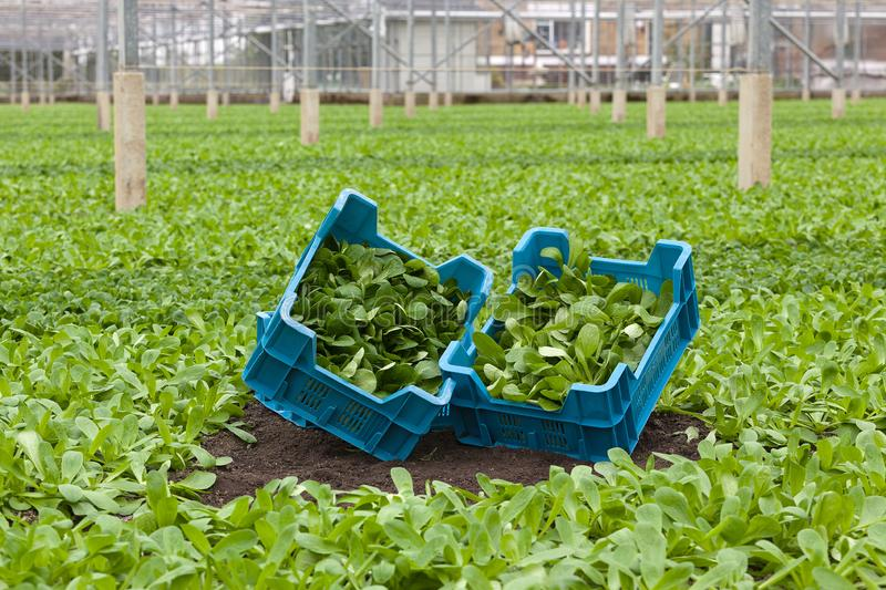 Lamb`s Lettuce or Corn Salad - Valerianella locusta - harvest in greenhouse or glasshouse plantation. Two crates with different kinds of organically grown Corn royalty free stock photos