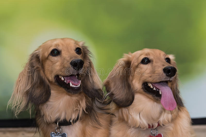 Two cream coloured long-haired dachshunds stock photography