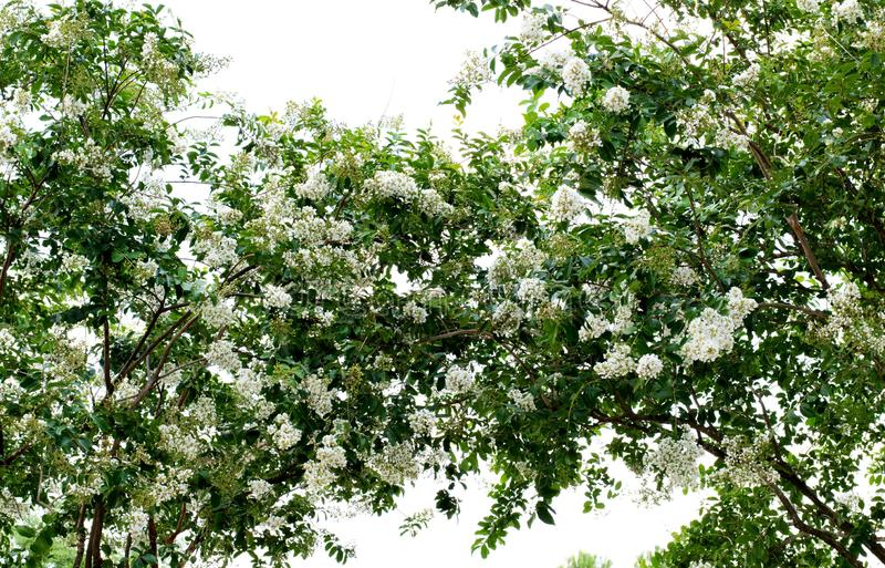 Two Crepe Myrtle tree canopies with white blossoms. Two Crepe Myrtle tree canopies merging together in the center. Lush green leaf foliage and white blossoms royalty free stock photography