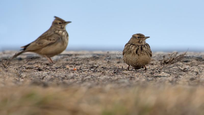 Two Crested Larks sits on on the ground in cold weather royalty free stock images